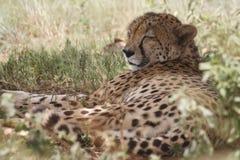 sova för cheetah Arkivfoton