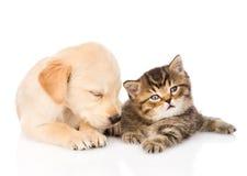Sova golden retrievervalphunden och den brittiska katten tillsammans Är Fotografering för Bildbyråer