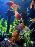 Sova guldfisken Arkivfoton