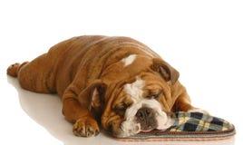 sova häftklammermatare för hund Royaltyfri Foto