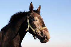 Sova hästen Royaltyfri Fotografi