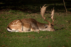 Sova hjortar Royaltyfri Bild