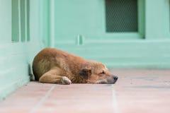 Sova hunden i söt dröm på det röda golvet, gullig docka fotografering för bildbyråer