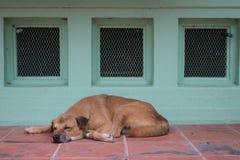 Sova hunden i söt dröm på det röda golvet, gullig docka royaltyfri fotografi