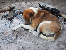 Sova hunden på askaen Fotografering för Bildbyråer
