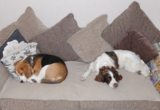 Sova hundkapplöpning royaltyfri bild