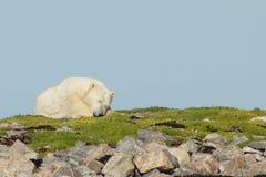 Sova isbjörnen på gräset arkivfoto