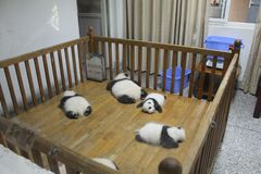 Sova jätte- pandor, Chengdu Kina Fotografering för Bildbyråer
