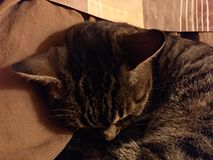 Sova katt arkivbild