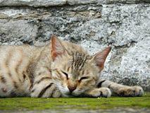 Sova katt Royaltyfri Bild