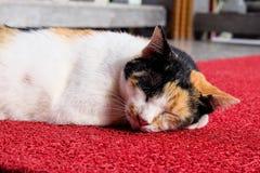 Sova katt Royaltyfri Fotografi