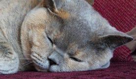 Sova katten Royaltyfri Fotografi