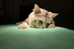 Sova katten i anestesi royaltyfria foton