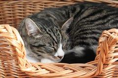 Sova katten i en vide- korg Fotografering för Bildbyråer