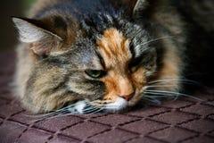 Sova katten på soffan Royaltyfri Fotografi