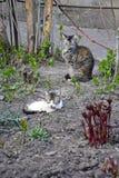 Sova katter Den gråa unga katten krullade upp på jordningen fotografering för bildbyråer