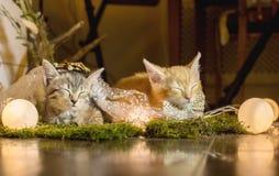 Sova kattunge två ålder 1 månad royaltyfri foto