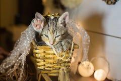Sova kattungen i en korg ålder 2 månader royaltyfria foton