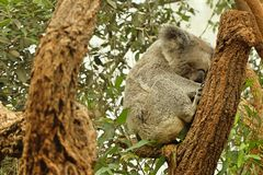 Sova koalan arkivbild