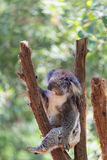 Sova koalan på eukalyptusträd, solljus fotografering för bildbyråer