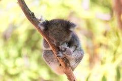 Sova koalan på eukalyptusträd, solljus royaltyfria bilder