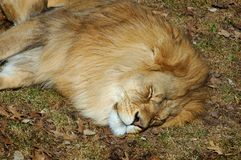 Sova Lion Arkivfoto