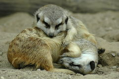 Sova meerkats royaltyfri foto