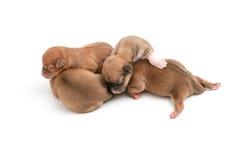 Sova nyfödda Chihuahuavalpar Royaltyfria Bilder