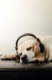 Sova och headphone för koppla avlabradorhunden Arkivbild