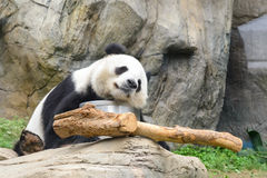 Sova pandan Royaltyfria Foton
