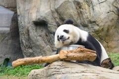 Sova pandan Fotografering för Bildbyråer