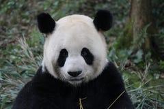 Sova pandan på trädet arkivbild