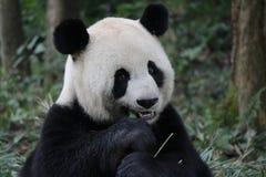 Sova pandan på trädet royaltyfria bilder