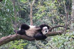 Sova pandan på trädet arkivfoto