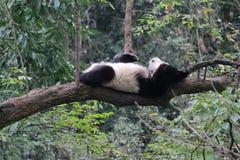 Sova pandan på trädet royaltyfri foto