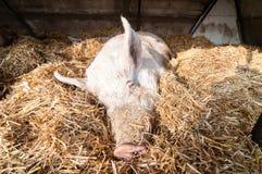 Sova pig på lantgården Fotografering för Bildbyråer
