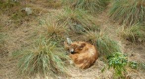 Sova räven Royaltyfria Foton