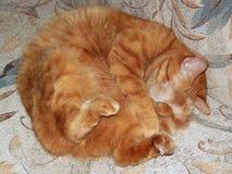 Sova röd katt Fotografering för Bildbyråer