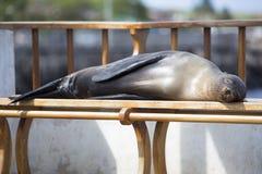 Sova sjölejonet på en bänk, Galapagos öar Royaltyfri Fotografi