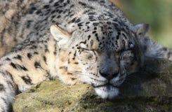 Sova snöleoparden royaltyfria bilder