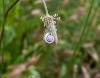 sova snigeln på en växt Royaltyfri Fotografi