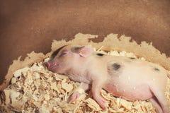 Sova som är piggy i sågspån Royaltyfri Foto