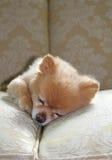 Sova som är pomeranian Royaltyfri Bild