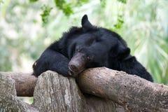 Sova svart björn för asiat Arkivfoto