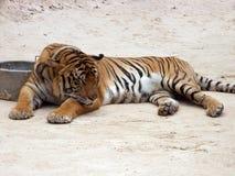 sova tiger Fotografering för Bildbyråer