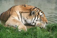 sova tiger Royaltyfri Bild
