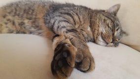 Sova tigern Fotografering för Bildbyråer