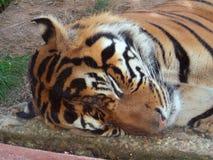 Sova tigern Royaltyfri Fotografi