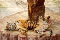 Sova tigern Arkivfoto