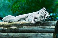 sova tigerwhite Arkivbilder